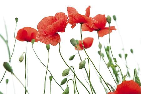 still life photo of red poppy flowers