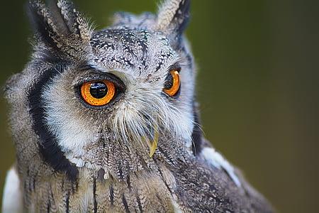 gray owl with orange eyes