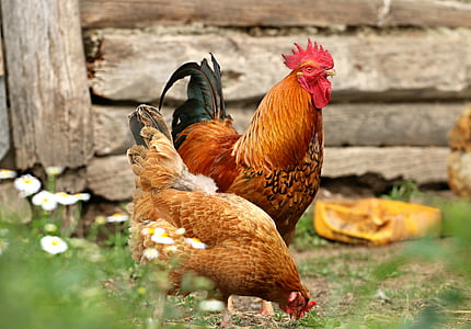 brown rooster and hen standing on ground during daytime