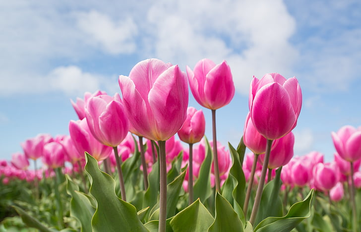 Spring Flowers Tulips Field Sunrise Grass Clouds: Royalty-Free Photo: Pink Tulip Flowers Under Calm Sky