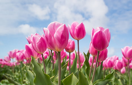 pink tulip flowers under calm sky