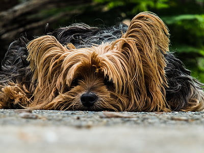 adult black and tan Yorkshire terrier