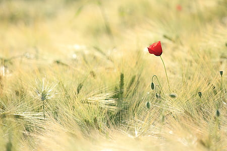 tilt shift photo of a red flower on green grasses