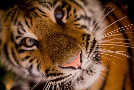 close-up photo of tiger