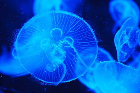 shallow focus photograph of blue jellyfish