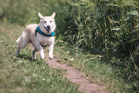 short-coated white and brown dog running on grass field during daytime