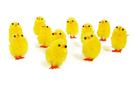 eleven yellow chicks in white background