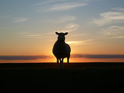 sheep near body of water during sunset