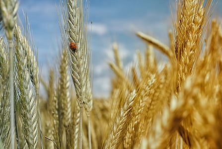 orange ladybug perched on wheat plant in closeup photo