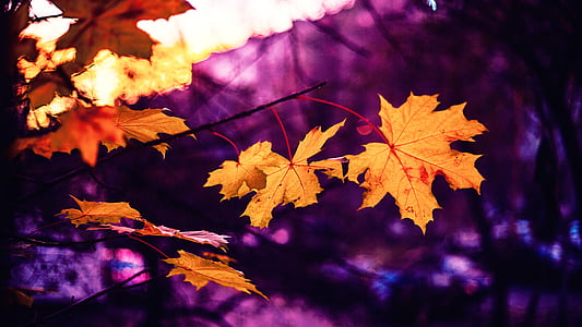 dried maple leaf in purple background