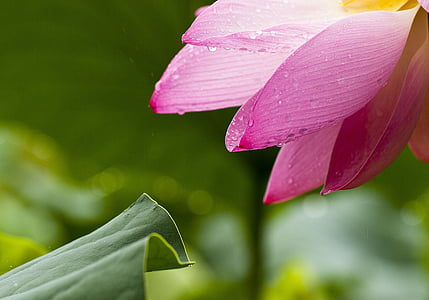 pink water lily flower in closeup photography
