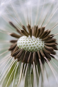 macro photography brown and green dandelion flower