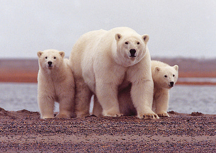 wildlife three Polar bear and cubs