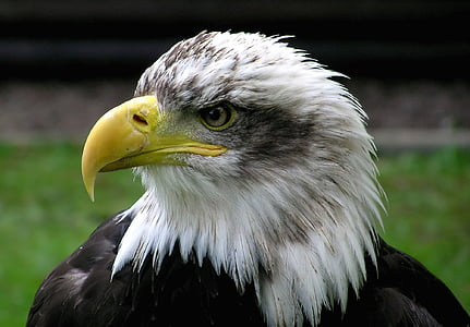 closeup photo of white and black eagle