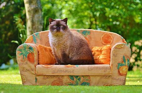 himalayan cat sits on sofa at daytime