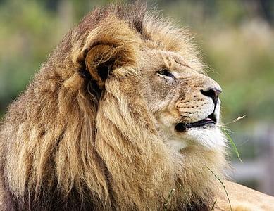 lion lying in green grass