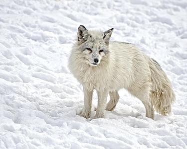 white wolf on snow