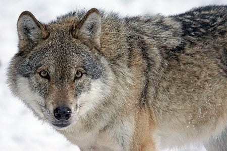 grey and black wolf