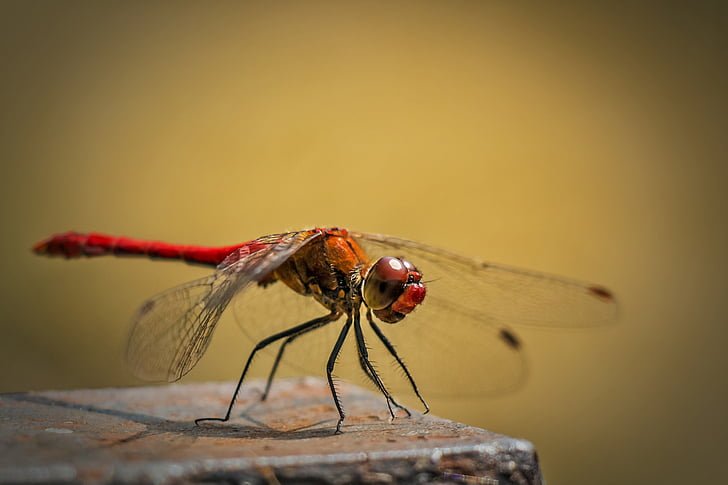 red dragonfly perching on brown stone closeup photography