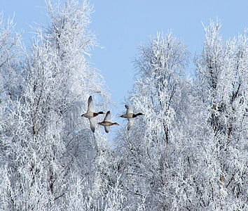 three ducks flying near trees