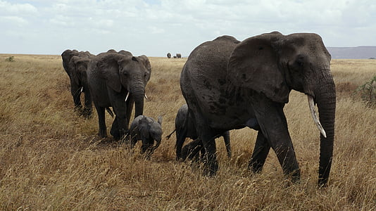five elephants on grass field