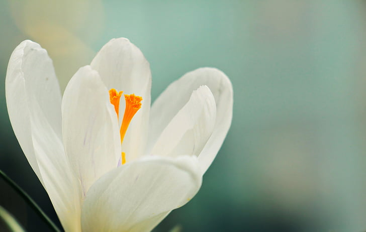 Royalty free photo white crocus flower selective focus photography white crocus flower selective focus photography mightylinksfo