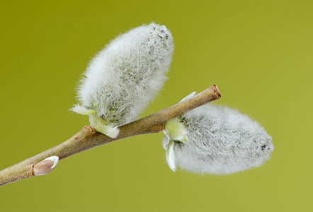 two white cotton flowers
