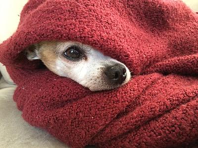 adult tan Chihuahua