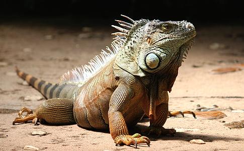 brown and grey bearded dragon