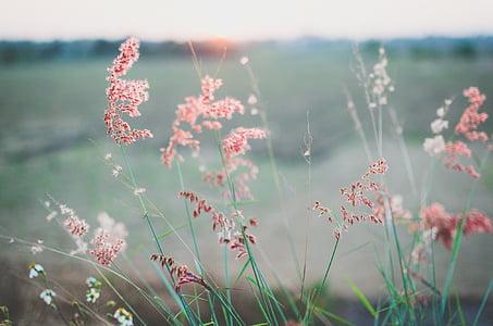 pink dandelion flowers