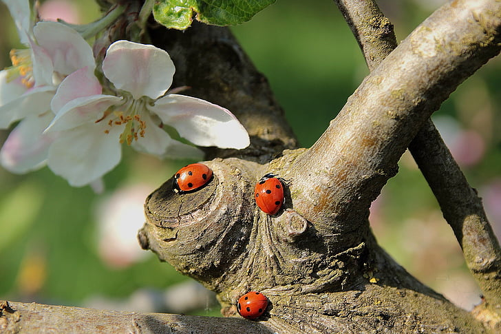 three orange ladybugs