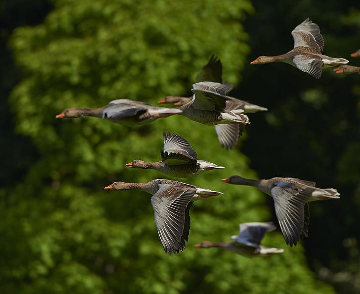 flock of mallard ducks flying near green tree