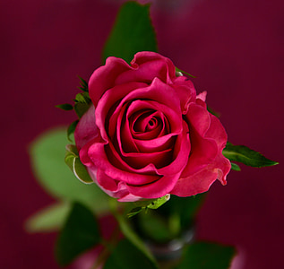red rose macro photography