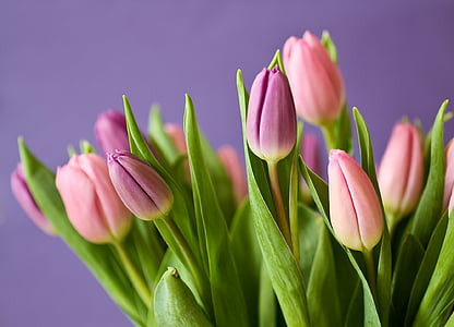 pink and purple tulip flowers