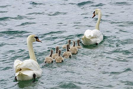 flock of swan