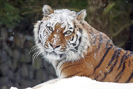 shallow focus photography of tiger lying on white snow field during daytime