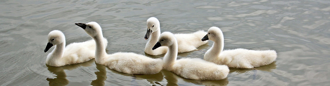 five white ducklings on body of water