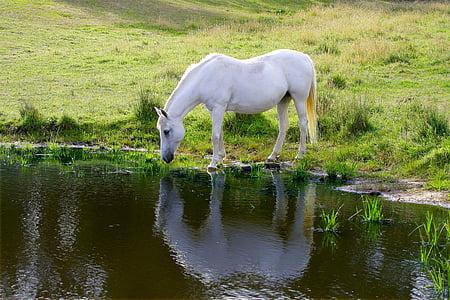 white horse drinking water beside grass field