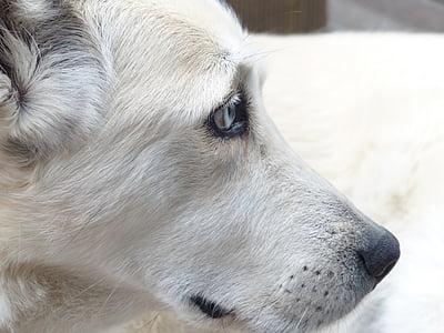 close-up photo of adult short-coated white dog