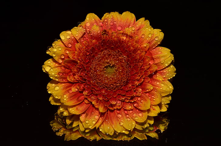 orange and yellow Gerbera daisy flower with water droplets