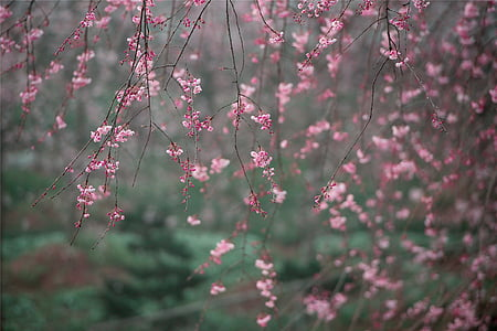 shallow focus photography of senbonzakura cherry blossom tree