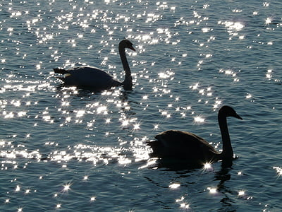 two silhouette of swans on body of water