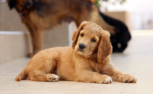 golden retriever lying on brown concrete flooring