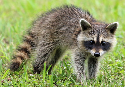 grey and brown raccoon