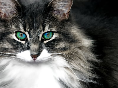 long-coated black and white cat