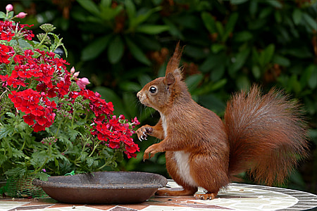 brown squirrel near red flowers