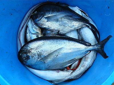 photo of gray scale fish on blue bucket