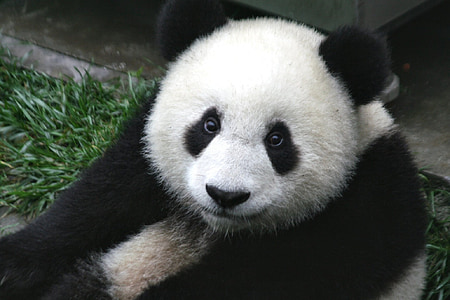white and black panda