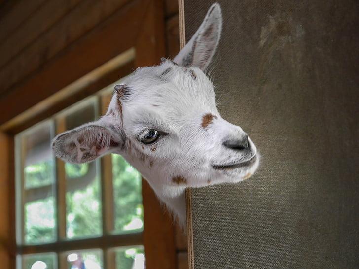 kid goat head on door
