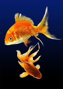 two red gold fish